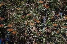 720076 Monarch Butterflies A4 Photo Print