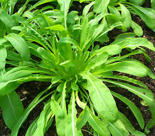 MIBUNA Japanese green vegetable plant in 100mm pot