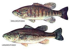 Bass Fishing Poster, Largemouth Bass & Smallmouth Bass