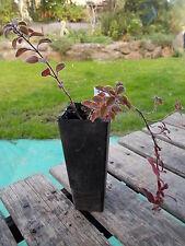 oregano - Origanum vulgare, 1 x perennial herb plant tube size