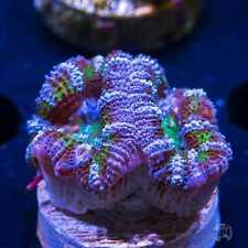 Grapevine Aussie Lord ~ Wysiwyg Live Coral Frag ~ World Wide Corals ~ #135