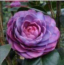 5 Camellia UNGU  seeds ,potted plants ,DIY Home & Garden Rich Flower Perennial