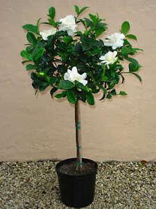 Gardenia jasminoides Very Fragrant 10 seeds + Gift