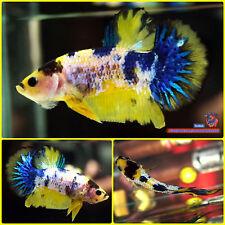 Live Betta Fish Male Yellow-Blue Koi Halfmoon Plakat HMPK #1982