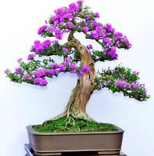 bonsai seeds -Purple Lilac Seeds (Syringa Vulgaris)---DIY Home Garden Bonsai,