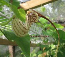 Aristolochia paulistana rare pipevine 10 seeds
