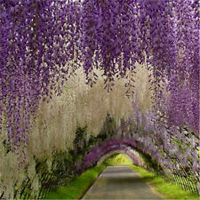 10 pcs Purple Wisteria Flower Seeds Perennial Climbing Plants Bonsai Home Garden