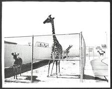 RINGLING BROS BARNUM & BAILEY CIRCUS GIRAFFES BABY & ANIMALS PHOTO (71)