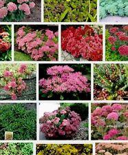 10 Different Sedum Plug Plants , Rockery, Perennial, Ground Cover, All Named