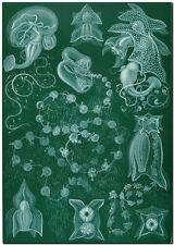 """ERNST HAECKEL CANVAS PRINT Art Nouveau Sea Life 32""""X 24"""" Siphonophorae"""