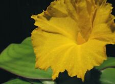 Costus spectabilis Very Rare waterlily ginger tropical deciduous bulb Exquisite