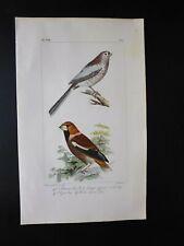 Gravure couleur 19°:oiseaux d'Europe:dans l'esprit Buffon: Bouvreuil.. Gros-bec