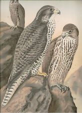 Naumann 1905 Naturgeschichte der Vogel Falco Gyrfalco