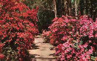 Postcard Magnolia Gardens Charleston South Carolina