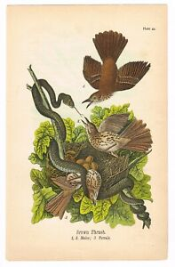 ANTIQUE PRINT VINTAGE 1890 BIRDS PENNSYLVANIA CHROMOLITHOGRAPH THRUSH W SNAKE