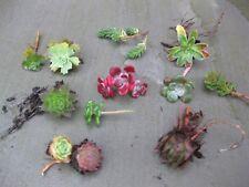 8 x Assorted Variety Succulent Sedum hardy plants for terrariums & fairy gardens