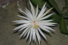 1 ~CUTTING~ Epiphyllum Orchid Cactus Succulents ~Hookeri Strictum~ White Flower