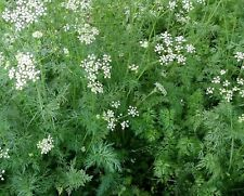 Cumin Seeds- Heirloom Herb-  500+ 2018 Seeds     $1.69 Max Shipping!