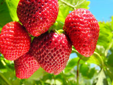 Giant Strawberry Seeds, Garden Fruit Plant, Sweet And Delicious 10 seeds