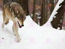 PHOTO ANIMAL NATURE WOLF SNOW FOREST CANINE WINTER COOL DOG POSTER LV10653