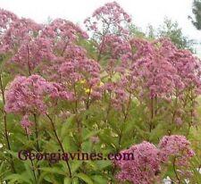 Eupatorium purpureum Joe Pye Weed 30 seeds