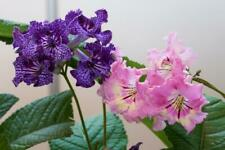 Cape Primrose 10 seeds (Streptocarpus mix)Perennial, blooms for 6 months