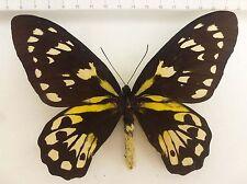Ornithoptera victoriae epiphanes female ex Makira, Solomon Islands   O-001