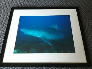 "Tiger Shark Framed Poster Picture 22"" x 18"" Used"