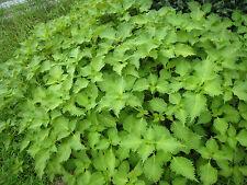 Perilla Shiso Sesamblatt  GRÜN - 60 Samen - Gewürz und Salatpflanze