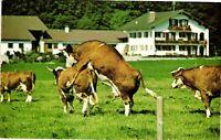 Vintage Postcard - How The Udder Half Lives Filmed In The Bavarian Alps #4024