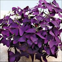 100 Pcs Seeds Oxalis Wood Sorrel Purple Shamrock Clover Flowers Bonsai Garden Н
