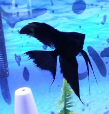 Beautiful Black Angelfish Dime to Nickel Body School of 6 Fish