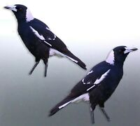 Mirrored pair of native Magpie Sticker Vinyl cut Australian made real swooping