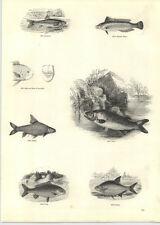 1854 Engravings Carp Bream Rainbow Wrasse Gudgeon Barbel