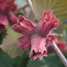 'Red Cracker' Hazelnut Hardy Self-Fertile Garden Crop Tree 1 Bare Root T&M NEW