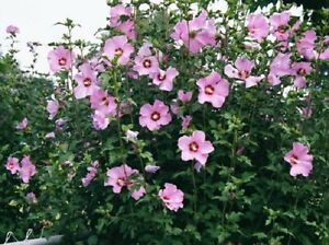 15+ PINK ROSE OF SHARON FLOWER SEEDS / HIBISCUS / PERENNIAL