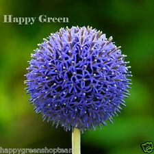 Blue Globe Thistle - 70 SEEDS - Echinops Ritro - PERENNIAL FLOWER