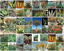 100 graines Aloe mix, plantes grasses, cactus,seed succulents F