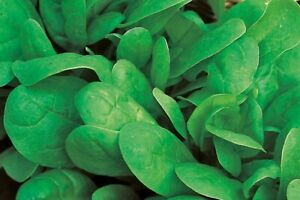 """SPINACH SEEDS """"ENGLISH MEDANIA"""" :) 100+ SEEDS. Healthy. Instructions Included x"""