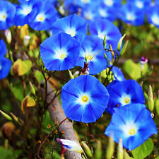 250 Mixed Morning Glory Vine Seeds