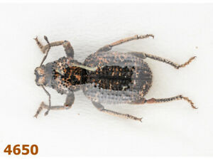 Curculionidae sp.  A1, 15 mm, 1 pc