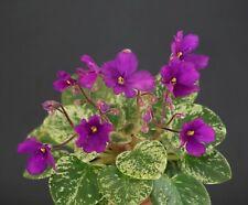 Lyon's Minnie-HaHa  Blatt/ leaf African Violet Usambaraveilchen