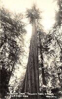 Humboldt Redwoods Park California 1950s RPPC Real Photo Postcard Founders Tree