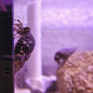 10, 20 or 30 Black Shell Hermit Crab (CALCINUS SP.) ** Special offer**