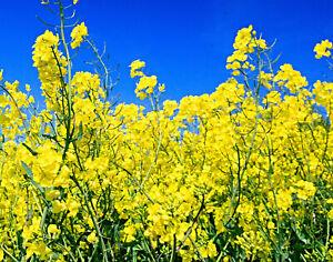 Sommer Raps Samen, Brassica napus, für gesundes Rapsöl,
