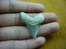"""(sr217-10) 1-1/2"""" Fossil Auriculatus Shark Tooth Gold or Silver wired necklace"""