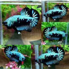 Green Samurai Halfmoon Plakat Male - IMPORT LIVE BETTA FISH FROM THAILAND