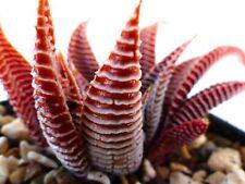5 Haworthia limifolia RED FORM ex Japan seeds samen korn SEMI SEEDS