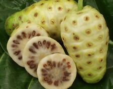 NONI Seeds Morinda Citrifolia Tree Seed Delicious Fruit Seeds Plant Fruit 2 PCS