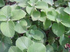 """Cuban oregano, perennial herb - 6 cuttings 3"""" each Plectranthus amboinicus"""